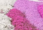 芝桜(シバザクラ)