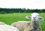 未来を見る羊