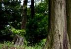 スギの木と花粉症