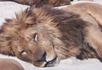 ライオンが昼寝