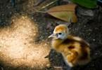 生まれたばかりの『ホオジロカンムリヅル』の赤ちゃん