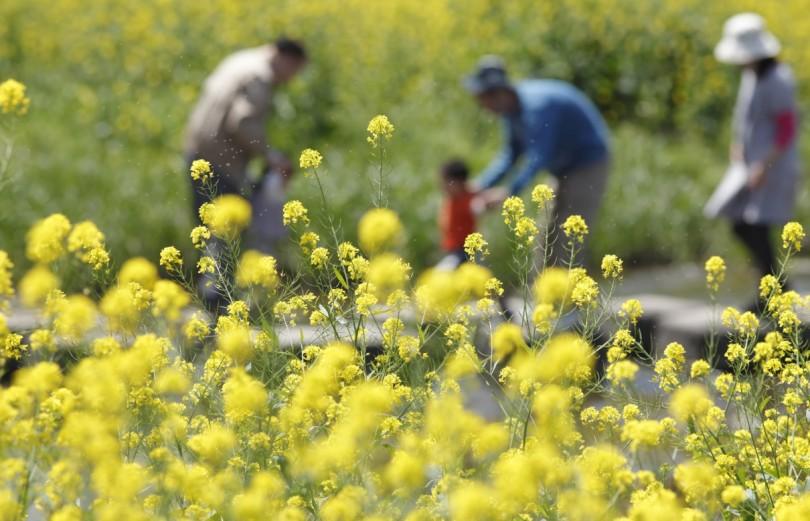 菜の花の飛び散る花粉と家族