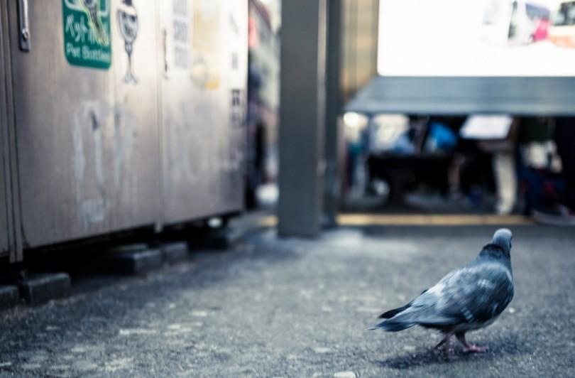都市伝説の鳩