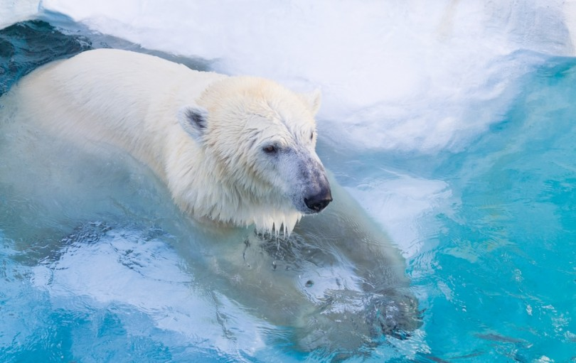 白クマ冷えてます