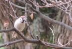 街路樹の雀