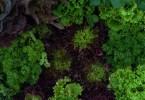 ガーデンレタスとパセリ