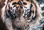 大阪といえば虎、タイガー