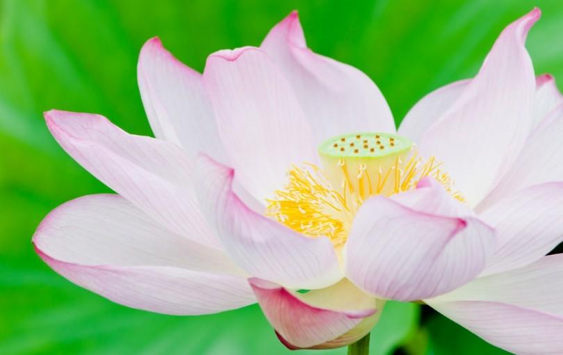 ピンク色の蓮の花
