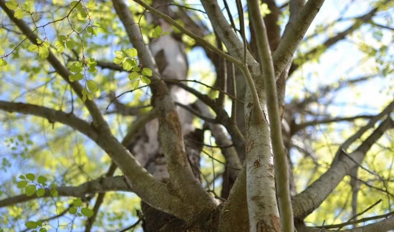 春を迎える木
