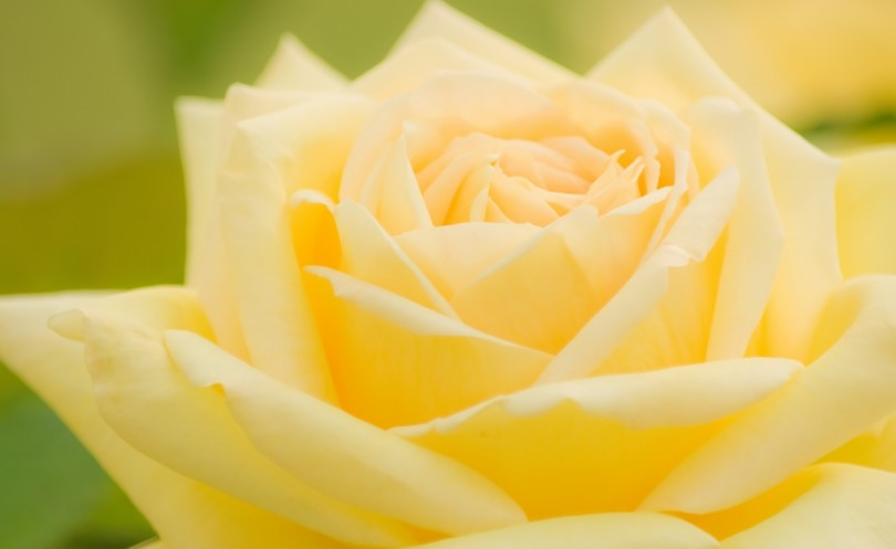 鮮やかな黄色のバラ