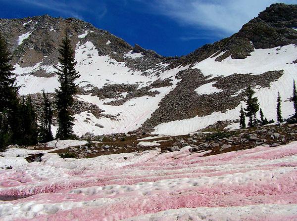 赤色雪氷藻類