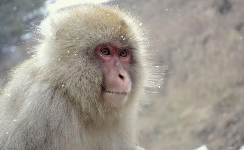 【猿好き必見!】待ち受けに最適な猿の高画質画像・壁紙まとめ