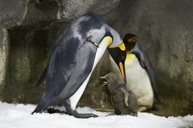 ペンギンGペア親子